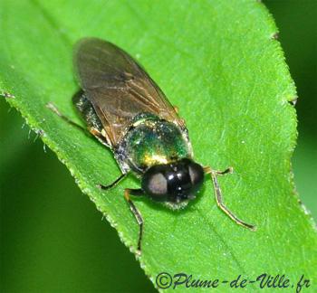 Insectes autres chloromie agr able plumedeville - Invasion de mouches vertes ...