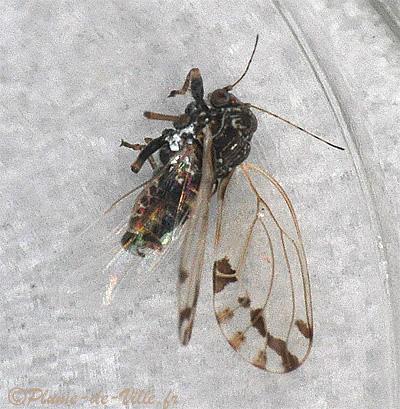 insectes psylle de l 39 arbre de jud e cacopsylla pulchella plumedeville. Black Bedroom Furniture Sets. Home Design Ideas