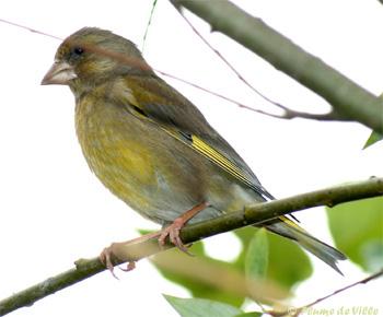 oiseaux verdier d 39 europe plumedeville