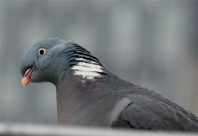 oiseaux pigeon ramier plumedeville. Black Bedroom Furniture Sets. Home Design Ideas