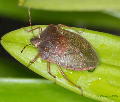 Insectes autres la punaise verte nezara viridula plumedeville - Punaise des bois maison ...