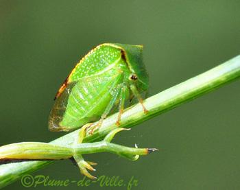Insectes autres le membracide bison plumedeville - Insecte vert volant ...