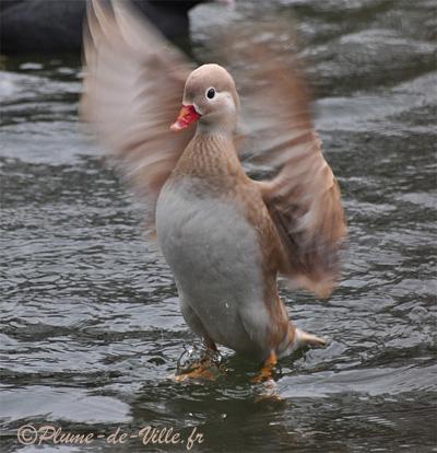 Oiseaux mandarin blond plumedeville for Couleur du canard