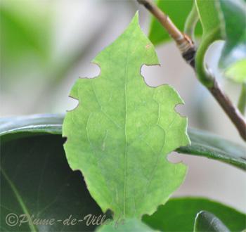 Insectes autres l 39 otiorhynque sillonn ou otiorhynque de la vigne plumedeville - Feuilles de rosier qui jaunissent ...